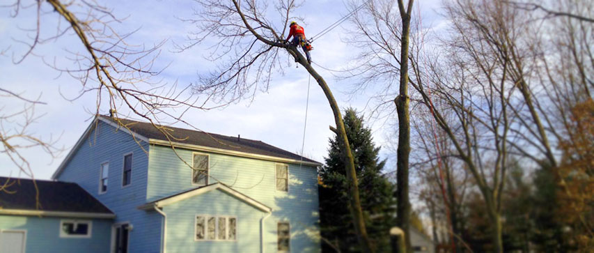 Darius Up high in tree safely removing it next to a house