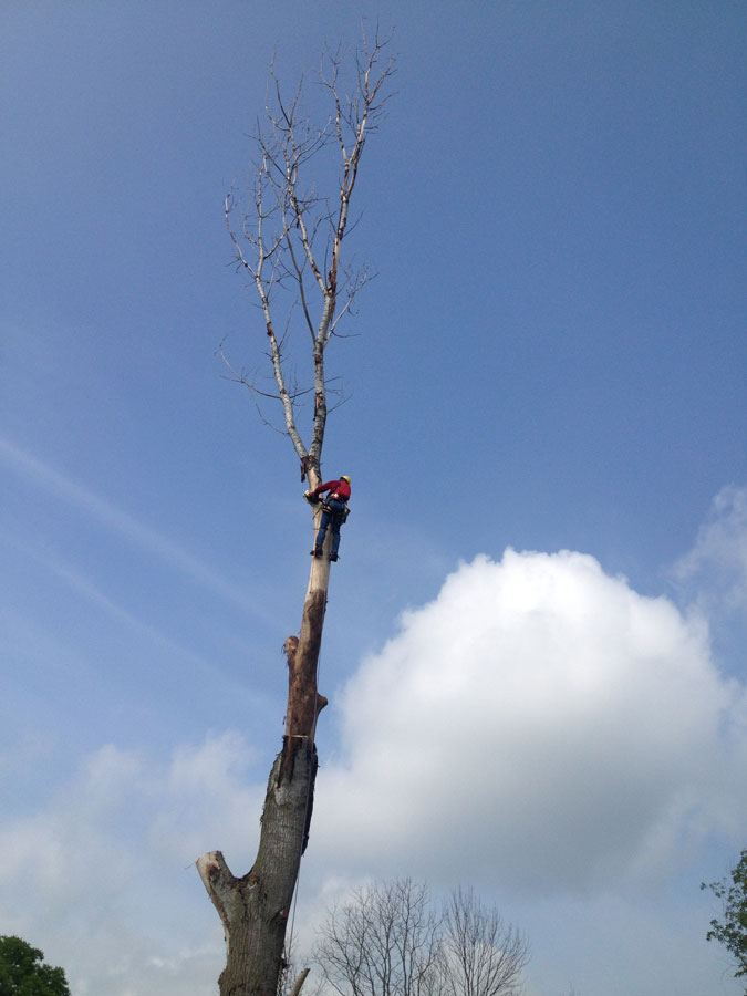High up in a tree removing limbs for tree removal